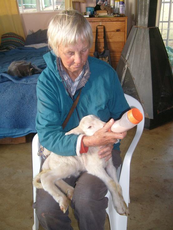 Bottlefeeding A Twin Lamb after Failed Attachment to the Mother