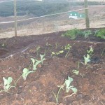 Organic cauliflower and onion seedlings