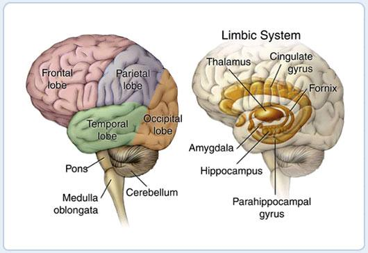 Anatomy of the Brain and Limbic System