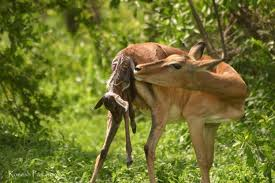 Deer giving birth to her young