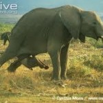 Elephant giving birth